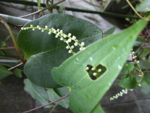 勝手に生えてきたヤマノイモの花~ハート形の葉っぱにハート形の虫食い穴を発見し、可愛いので撮影した